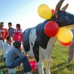 rywalizacja krowa do dojenia gotowa atrakcja na imprezy
